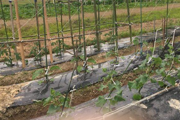 石川県津幡町にて新鮮な野菜栽培に挑戦